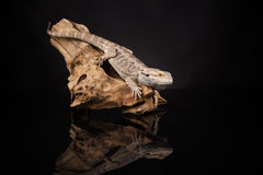 Dragon Lizard Immagini Stock Libere da Diritti