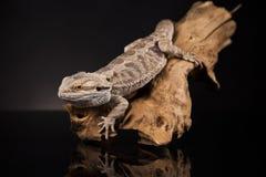 Dragon Lizard Immagini Stock