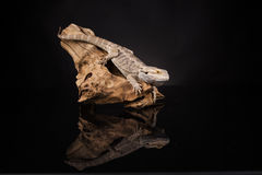 Dragon Lizard Fotografia Stock Libera da Diritti