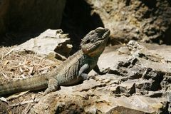 Dragon Lizard barbuto australiano Fotografie Stock