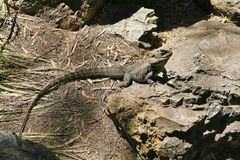 Dragon Lizard barbuto australiano Fotografia Stock
