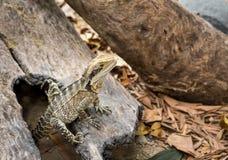 Dragon lizard Royalty Free Stock Photo
