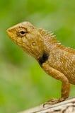 Dragon lizard Stock Images