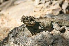 Dragon Lizard farpado australiano Imagem de Stock Royalty Free
