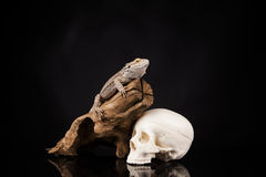 Dragon lizard and human skull Royalty Free Stock Photo