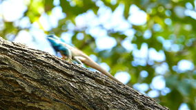 Dragon lizard in nature. stock video