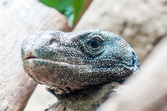 Dragon lizzard portrait Royalty Free Stock Photography