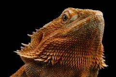 Dragon Llizard Isolated farpado no fundo preto imagens de stock royalty free