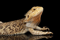 Dragon Llizard Lying barbu sur le miroir, fond noir d'isolement Photos stock