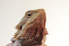 Dragon Llizard Pogona Vitticeps barbuto Fotografie Stock