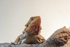 Dragon Llizard Pogona Vitticeps farpado fotografia de stock