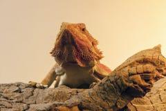 Dragon Llizard Pogona Vitticeps farpado foto de stock royalty free
