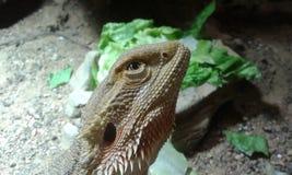 Dragon Looking Up barbu Photo libre de droits