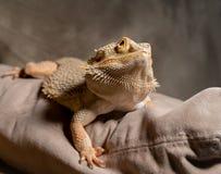 Dragon Looks barbuto alla macchina fotografica Fotografie Stock Libere da Diritti