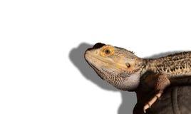 Dragon Looks barbuto alla macchina fotografica Fotografia Stock Libera da Diritti