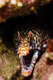 Dragon moray stock image