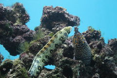 Moray eels. Dragon Moray and Snowflake Moray fight for the food Royalty Free Stock Photos
