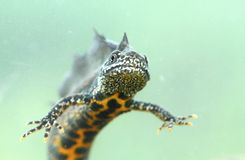 Dragon newt Stock Images
