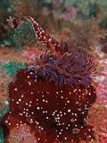 Dragon Nudibranch Underwater azul 1 imagens de stock royalty free