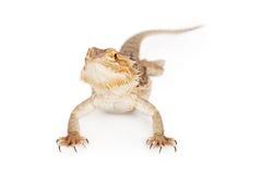 Dragon Pet barbu image libre de droits