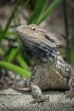 Dragon Posing farpado Fotos de Stock