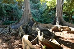 Dragon Roots. Twisted giant fig tree roots in Allerton Garden, Poipu, Kauai, Hawaii, USA Stock Image