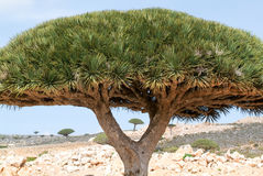 Dragon's Blood Tree at the island of Socotra royalty free stock photo
