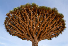 Dragon's Blood Tree at the island of Socotra Royalty Free Stock Images