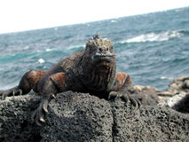 Dragon of the sea. Black sea lizard sitting on a rock in front of the sea Stock Photography