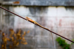 Wired Lizard Royalty Free Stock Images