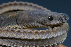 Dragon snake / Xenodermus javanicus Stock Photography