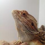 Dragon Staring barbu Photos libres de droits
