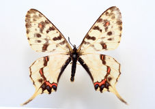 Dragon swallowtail. (Sericinus montela) specimen isolated Stock Images