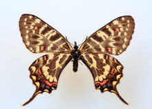 Dragon swallowtail. (Sericinus montela) specimen isolated Royalty Free Stock Photo