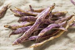 Dragon Tongue Beans roxo orgânico imagem de stock