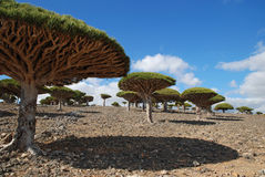 Dragon tree. On Socotra island Stock Photos