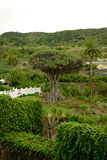 Dragon tree Royalty Free Stock Photos