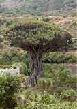 Dragon tree Royalty Free Stock Photos