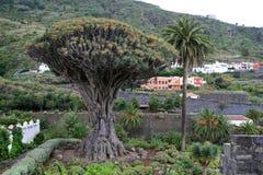 Dragon Tree antigo fotografia de stock royalty free