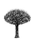 Dragon-tree. Black silhouette tree on white background. Royalty Free Stock Photo