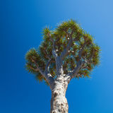 Dragon tree on blue sky Royalty Free Stock Photo