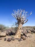 Dragon Tree Central Namibia grande imagens de stock