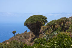 Dragon tree at coast of La Palma Stock Image