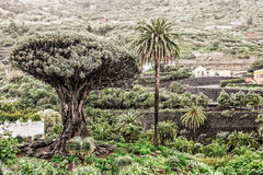 Dragon tree dracaea draco and palm trees at Tenerife stock images