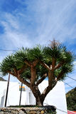 Dragon tree Royalty Free Stock Photography