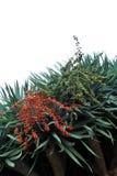 Dragon tree,  Dracaena draco Stock Photos