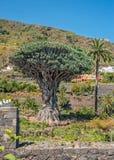 Dragon tree , or Dracaena draco. Royalty Free Stock Images