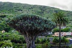 Dragon Tree (Dracaena draco). Landscape with ancient dragon tree and palm trees Stock Photos