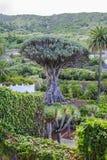 Dragon Tree (Dracaena draco). Landscape with ancient dragon tree - Tenerife, Canary Island Royalty Free Stock Photo