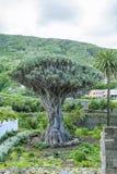 Dragon Tree (Dracaena draco). Landscape with dragon tree and palm trees Stock Photography